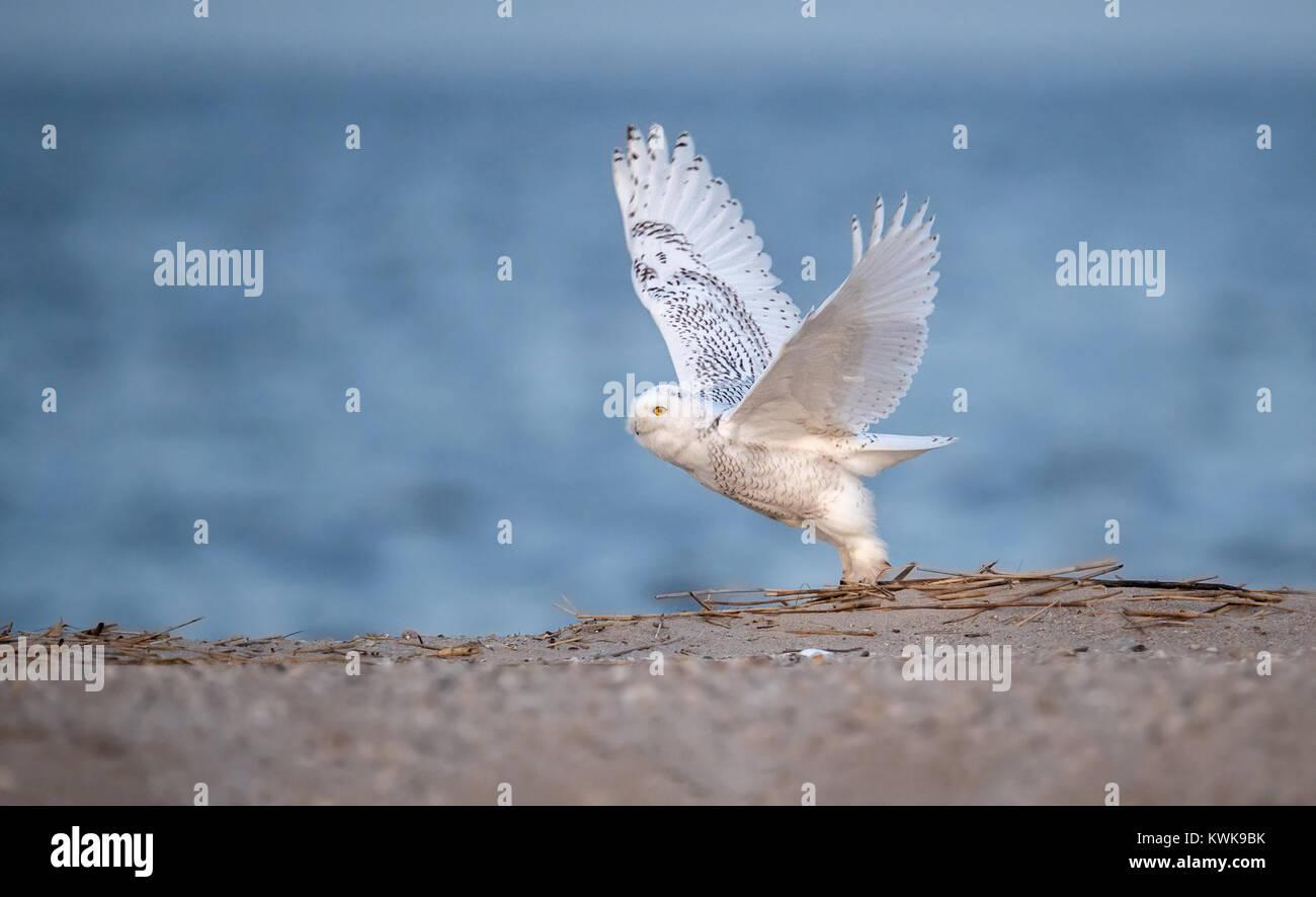 A Snowy Owl on the Beach - Stock Image