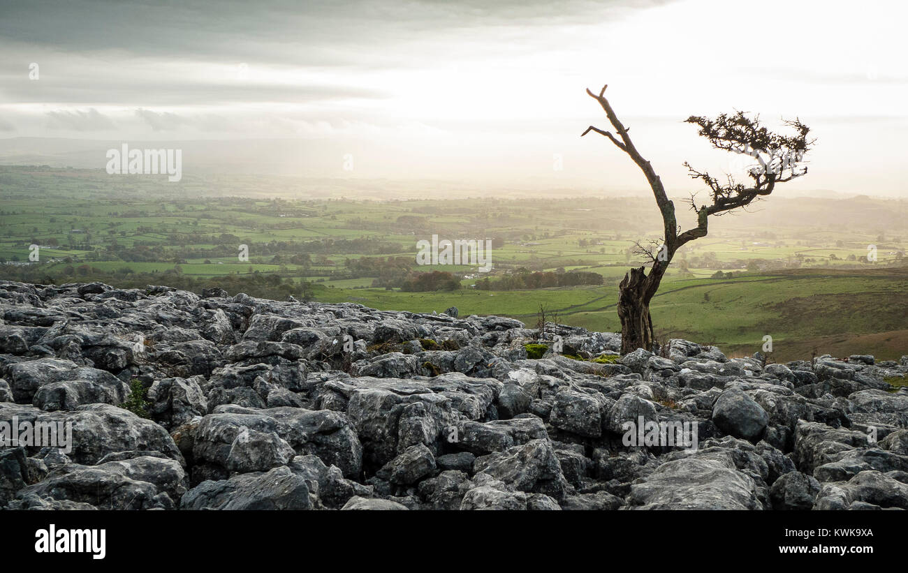 Solitary tree on limestone pavement, 3 peaks, Yorkshire Dales, England, UK - Stock Image
