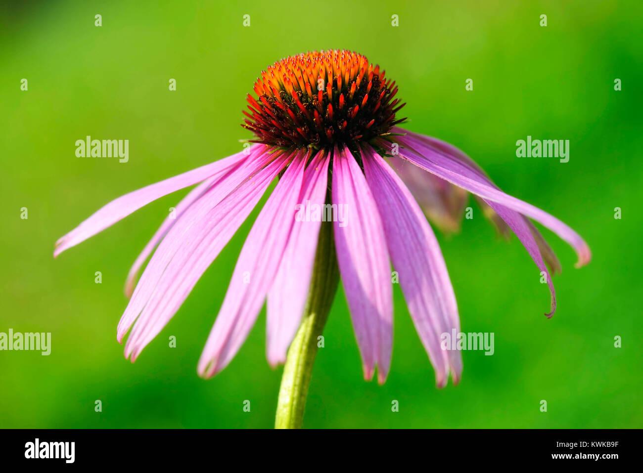 Magenta-solar hat (Echinacea purpurea), Purpur-Sonnenhut (Echinacea purpurea) - Stock Image