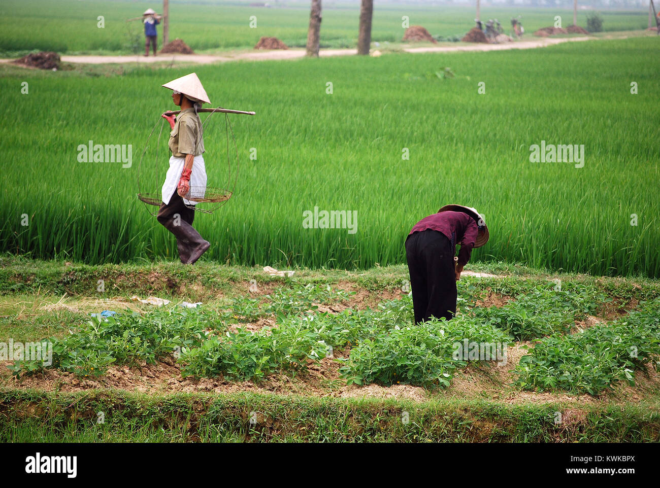 Farmers working in the paddy field near Hanoi. They wear typical Vietnamese hat. - Stock Image