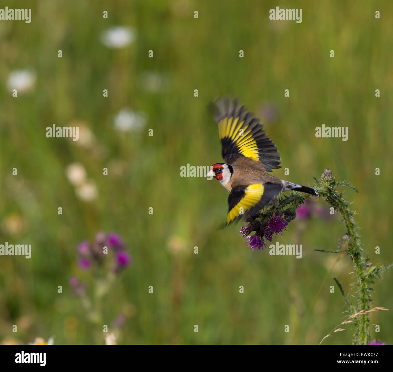 A goldfinch (Carduelis carduelis) with wings outstretched takes off from a common thistle plant. Effective motion Stock Photo