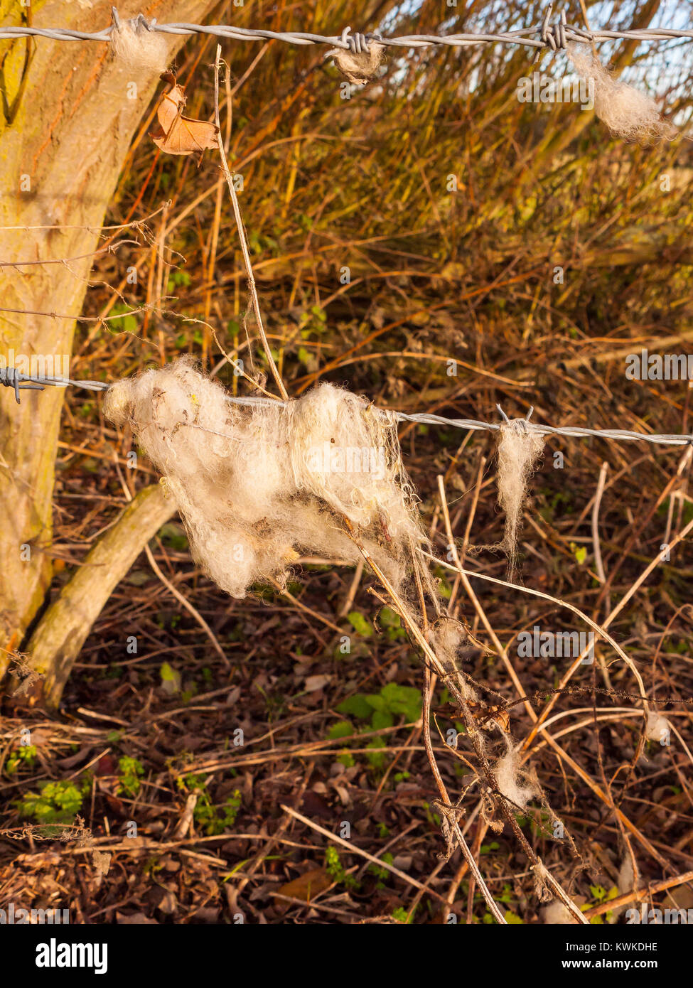 strands tuft of wool in country sheep caught on metal wire barbed wire Stock Photo