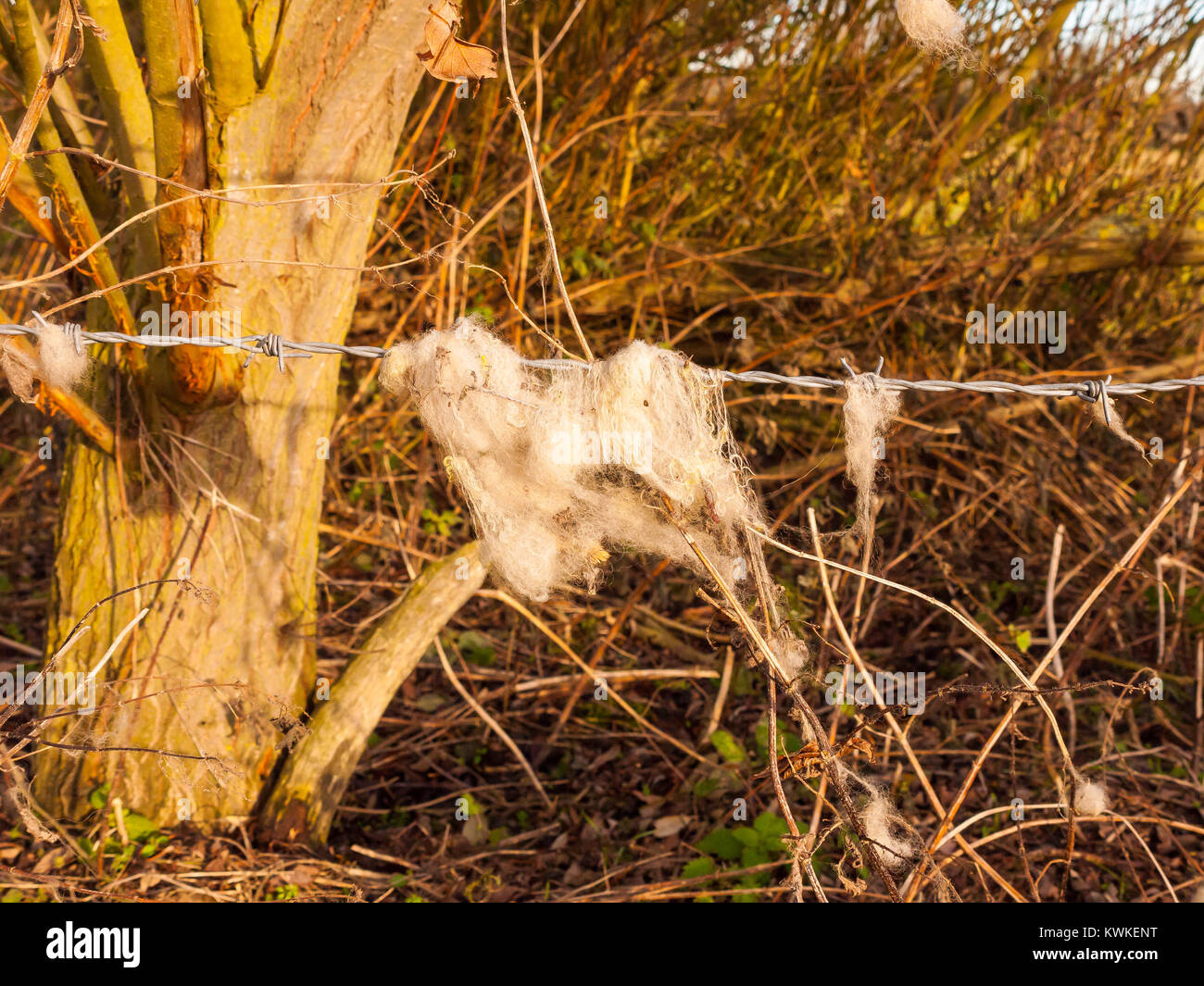 strands tuft of wool in country sheep caught on metal wire barbed wire; essex; england; uk Stock Photo