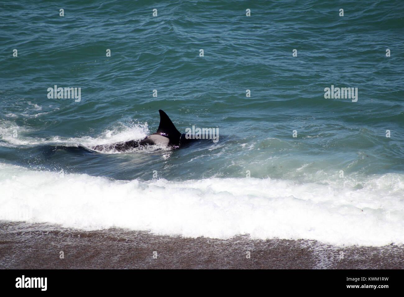 Orca Free Peninsula Valdez