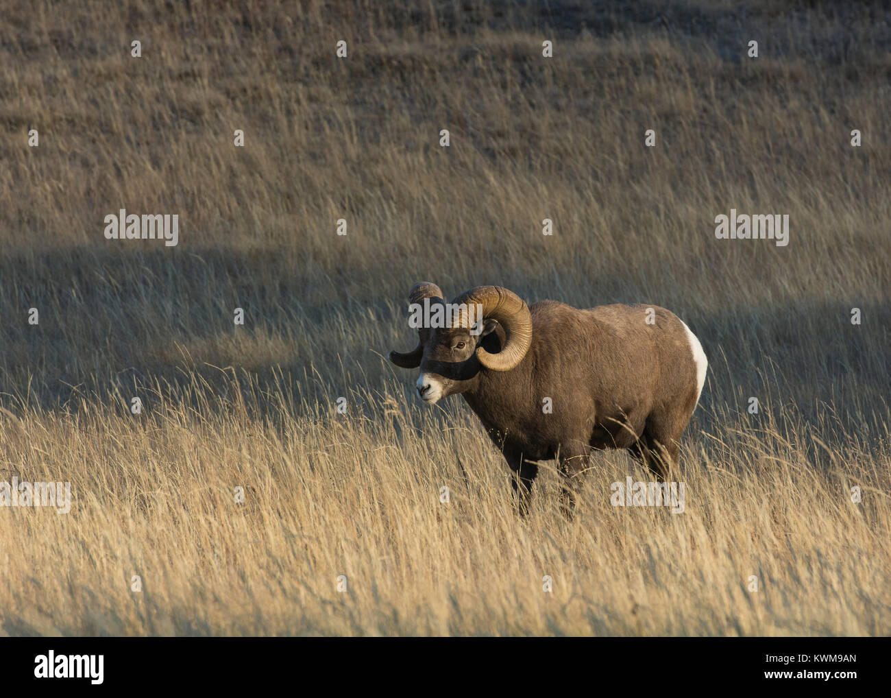 Rocky Mountain Bighorn Ram (Ovis canadensis) standing in a mountain meadow near Talbot Lake, Jasper National Park, Stock Photo