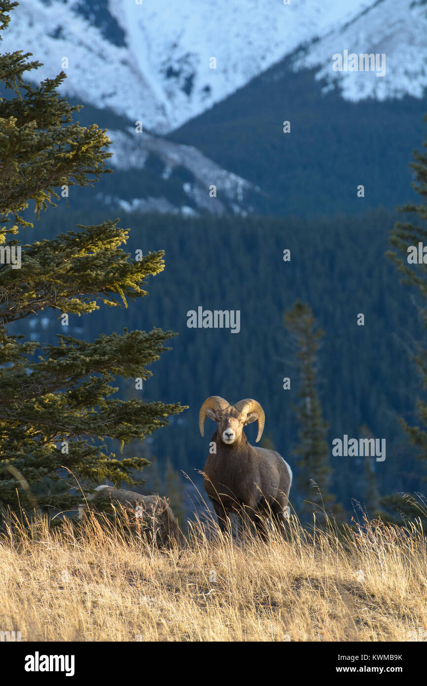 Rocky Mountain Bighorn Ram (Ovis canadensis) near Talbot Lake in Jasper National Park, Canada Stock Photo