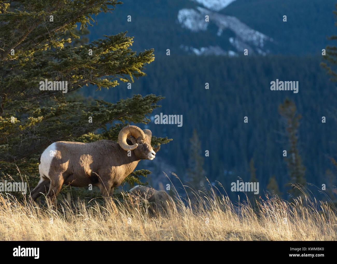 Rocky Mountain Bighorn Ram (Ovis canadensis) near Talbot Lake in Jasper National Park, Canada Stock Photo