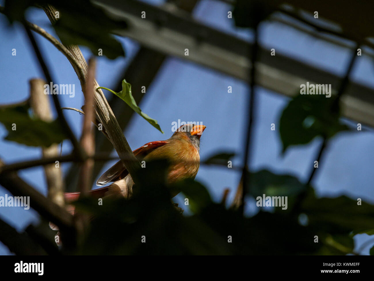 Davenport, Iowa, USA. 29th Nov, 2016. A bird perches itself amongst branches at Vander Veer Park in Davenport on - Stock Image