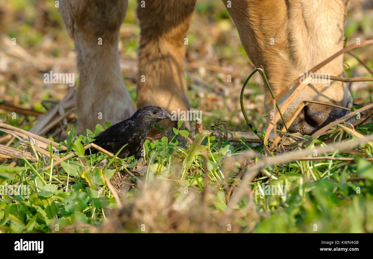 Groove-billed Ani  (Crotophaga sulcirostris) follows a cow to feed on insects disturbed as it eats along the shore - Stock Image