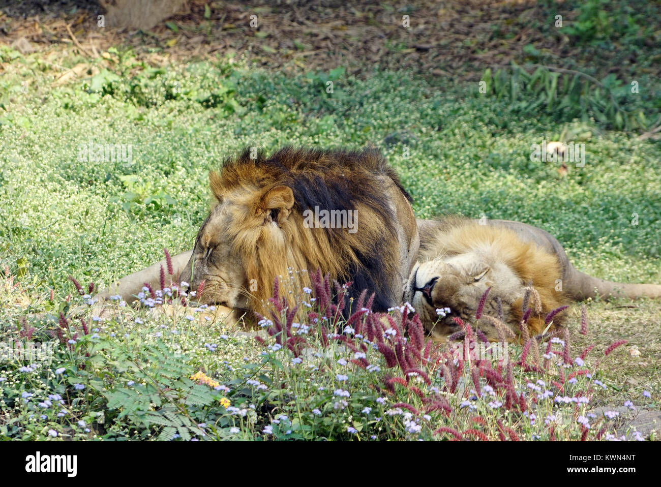 The two lions taking rest in the noon. - Stock Image