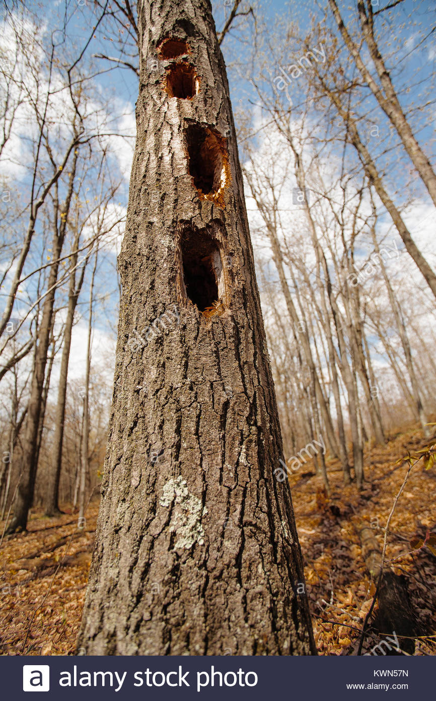 Pileated woodpecker holes along a tree in early spring at the Sandhill National Wildlife Area, Babcock, Wisconsin - Stock Image