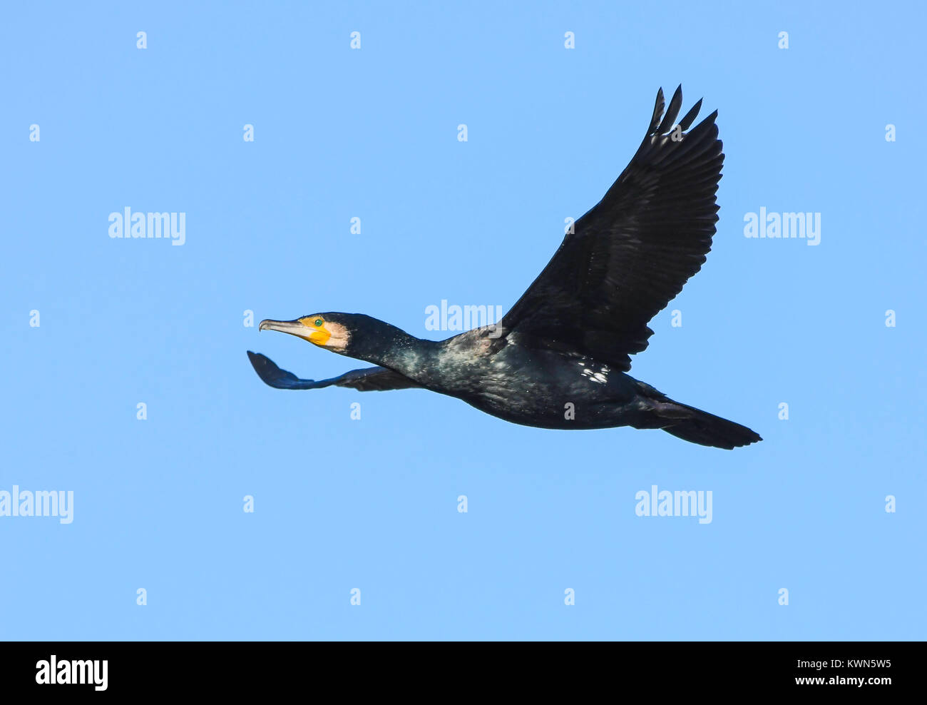 Cormorant in flight - Stock Image