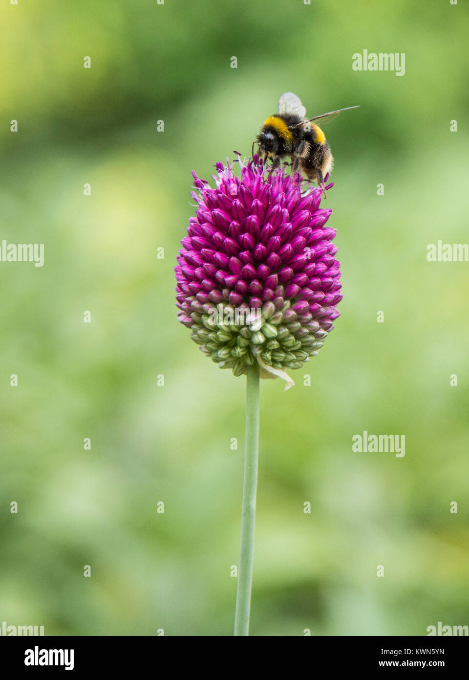 A buff tailed bumble bee collecting pollen from an allium sphaerocephalon head. - Stock Image