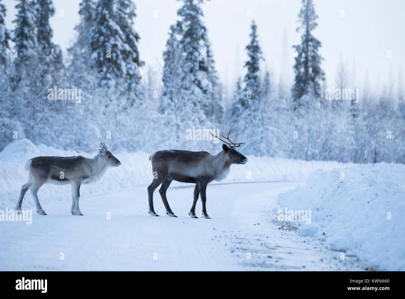 Reindeer couple in the winter environment - Stock Image