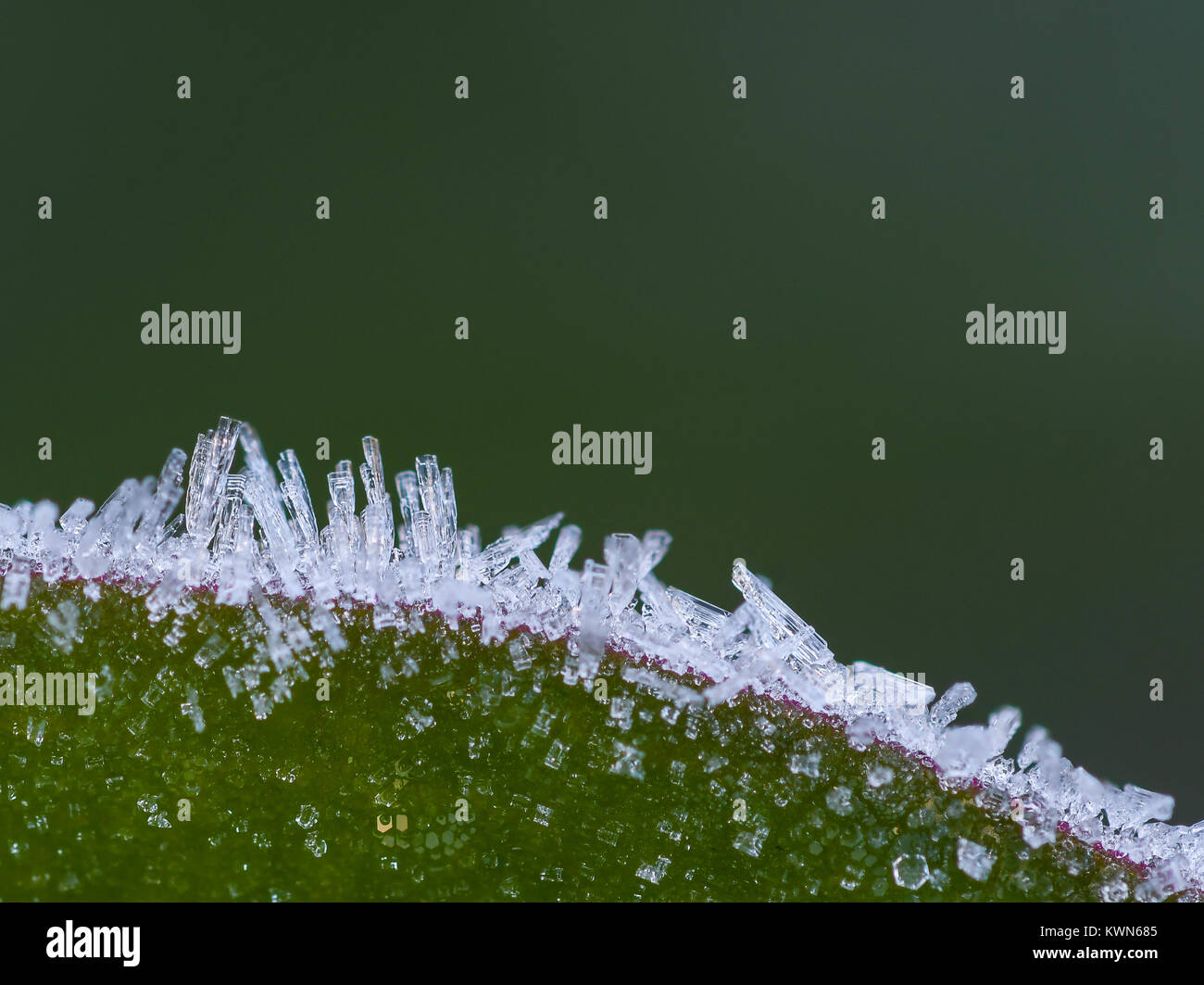 Ice crystals on the edge of a leaf - Stock Image