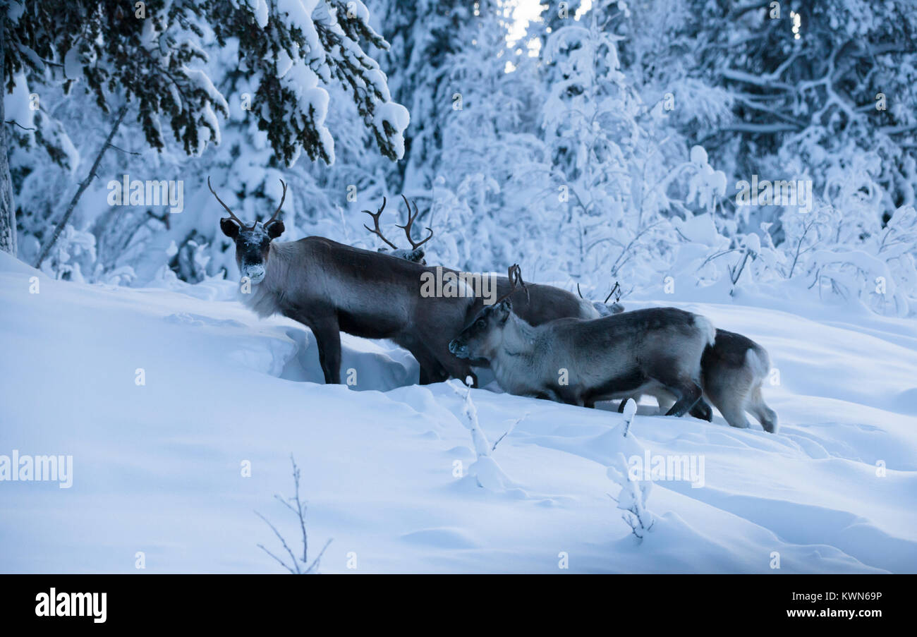 Reindeer digs in the snow for bait - Stock Image