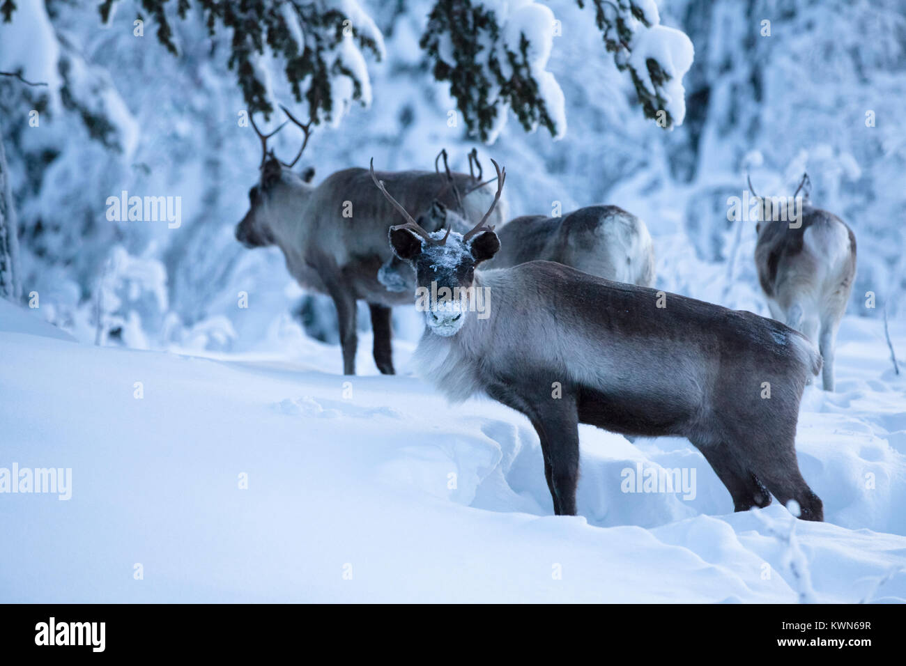 Reindeers digging for food in the deep snow. Stock Photo