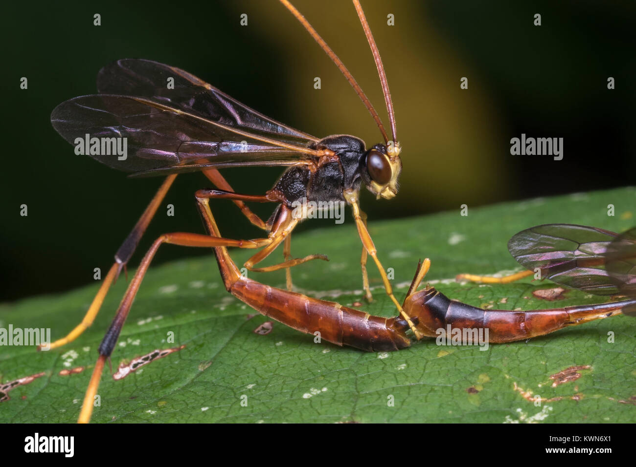 Close up photo of mating Ichneumonid Wasps (Aphanistes ruficornis) showing how the male positions his body.  Cahir, - Stock Image