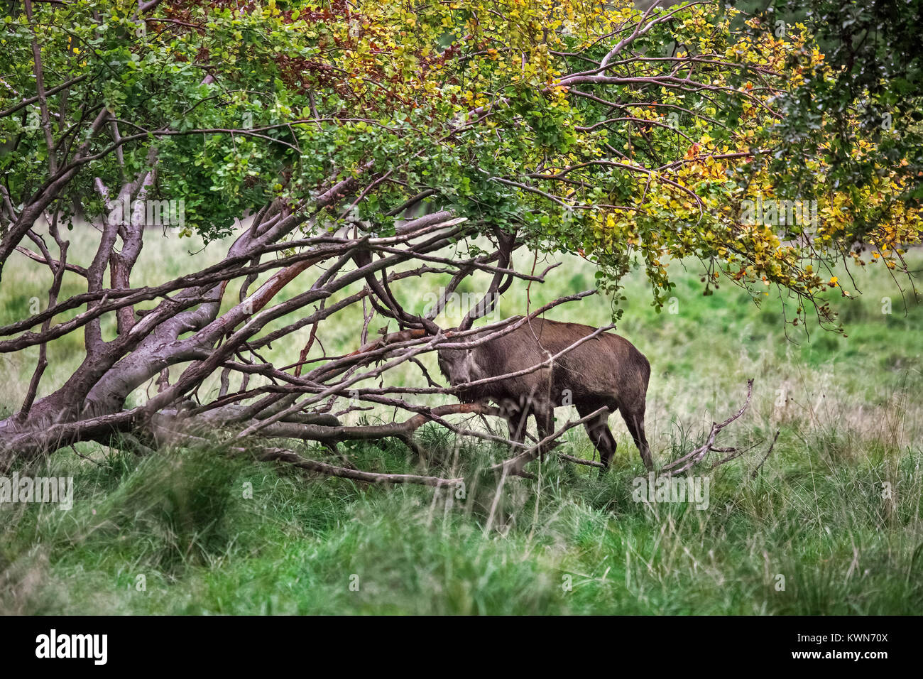 Red deer (Cervus elaphus) head-shaking stag displaying by braking off branches from fallen tree during the rut in - Stock Image