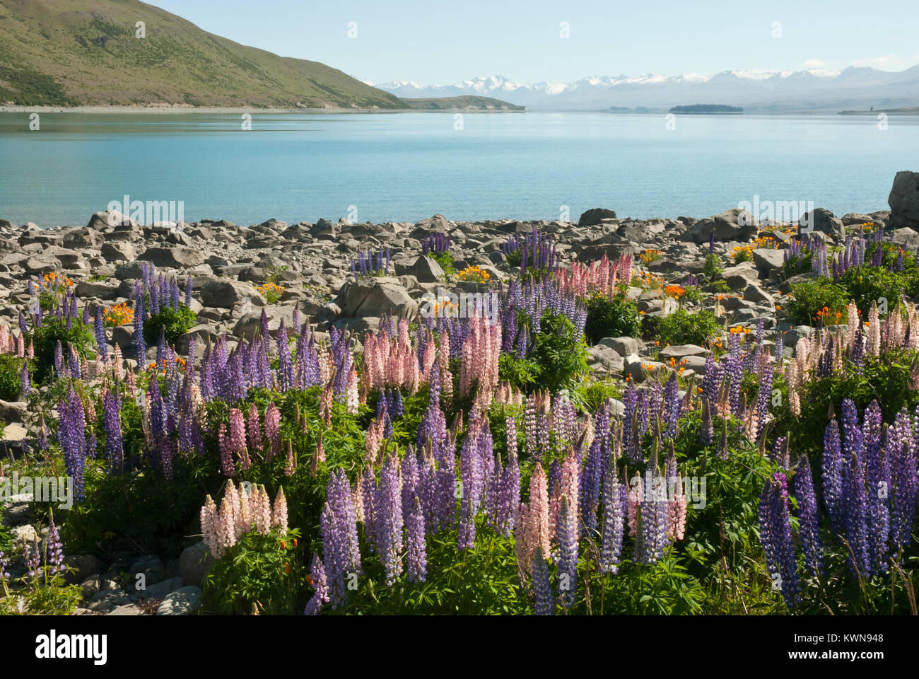 Colourful landscape of Lake Tekapo, Spring/ Summer, with blue lake surrounded by snow capped mountains and colourfull Stock Photo