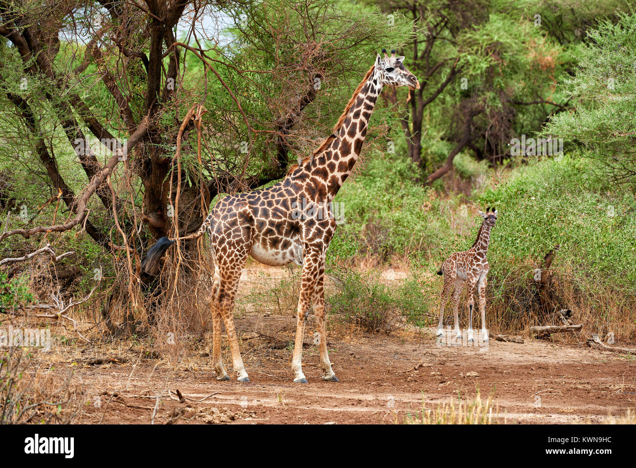 kleine Masai-Giraffe mit Mutter, Lake-Manyara-Nationalpark Tansania, Afrika |young Masai Giraffe wirh mother, Lake - Stock Image