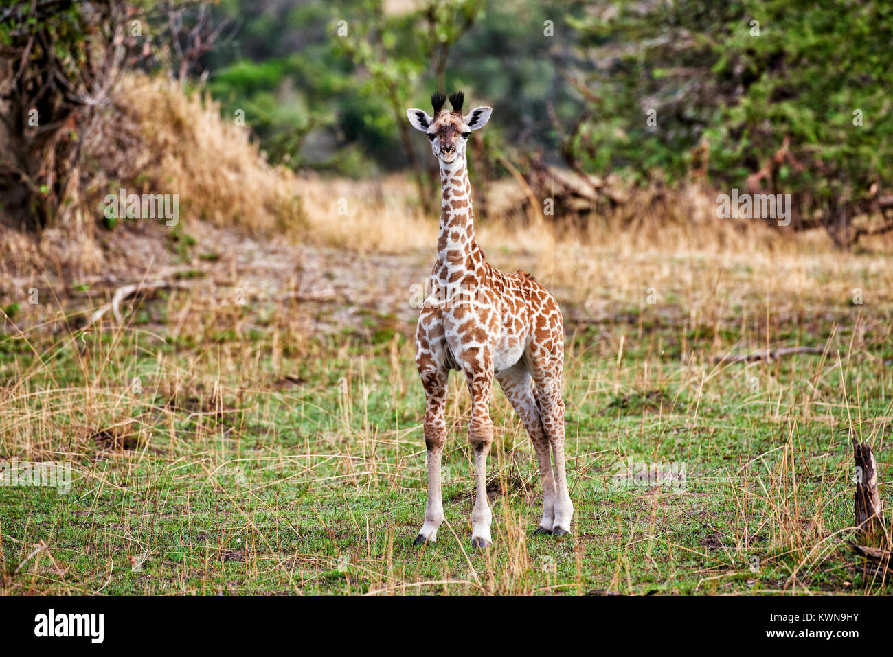 new born Masai giraffe, Giraffa camelopardalis tippelskirchi, Serengeti National Park, UNESCO world heritage site, - Stock Image