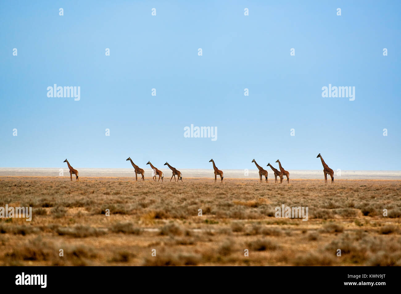 herd of Masai giraffes on dry Serengeti plains, Serengeti National Park, UNESCO world heritage site, Tanzania, Africa - Stock Image