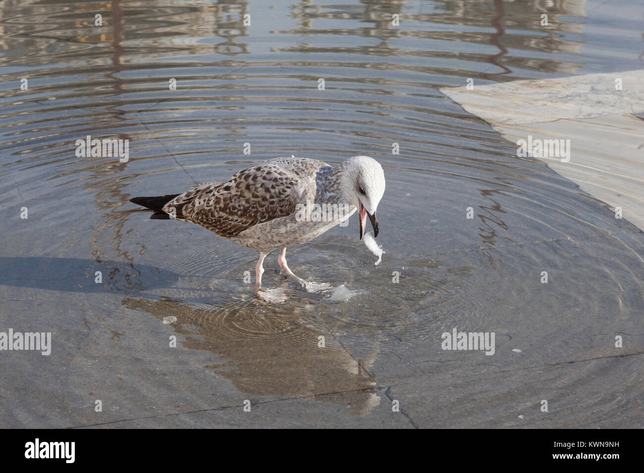 Juvenile seagull spitting out  plastic it had ingested while scavenging food from tourists in Piazza San Marco, - Stock Image