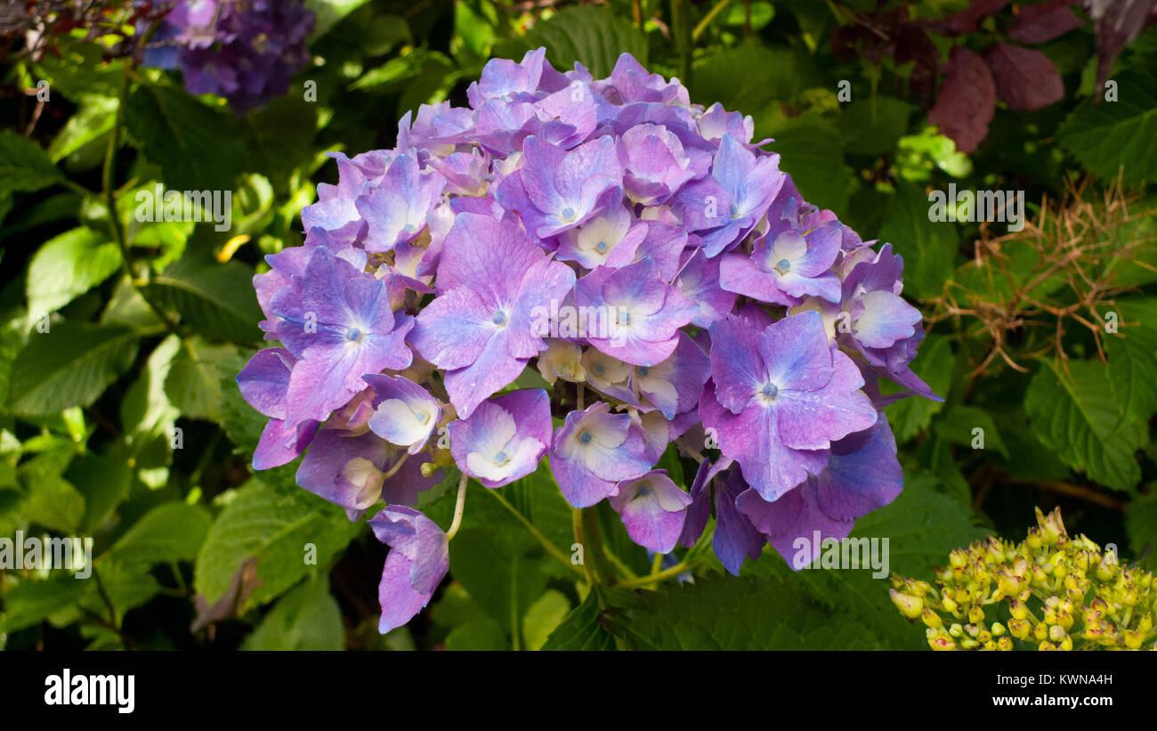 Hortensie Blüte in Lila, pink, blau - Stock Image