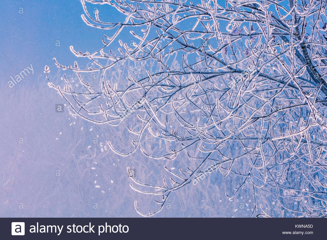 Winter pattern of hoarfrost, hoar frost, radiation frost, pruinaice, surface hoar, frost, blowing from tree branches - Stock Image