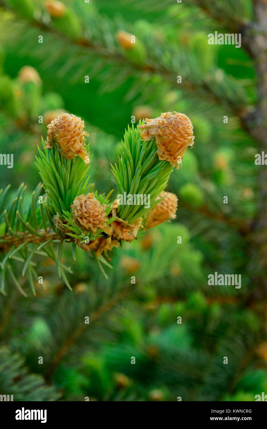 Mature pine aphids opinion you