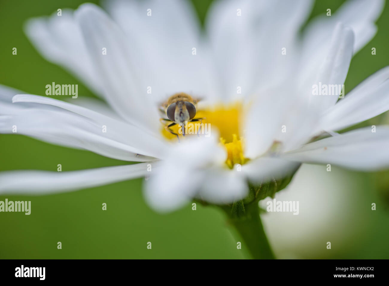 closeup of bee on white daisy - Stock Image