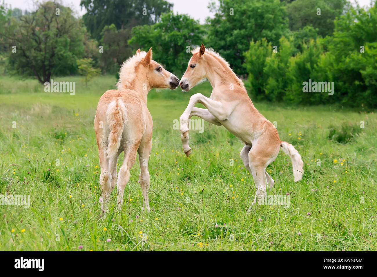 Two cute Haflinger horse foals have fun, playing, rearing and frolic around in a meadow in spring, Germany. - Stock Image