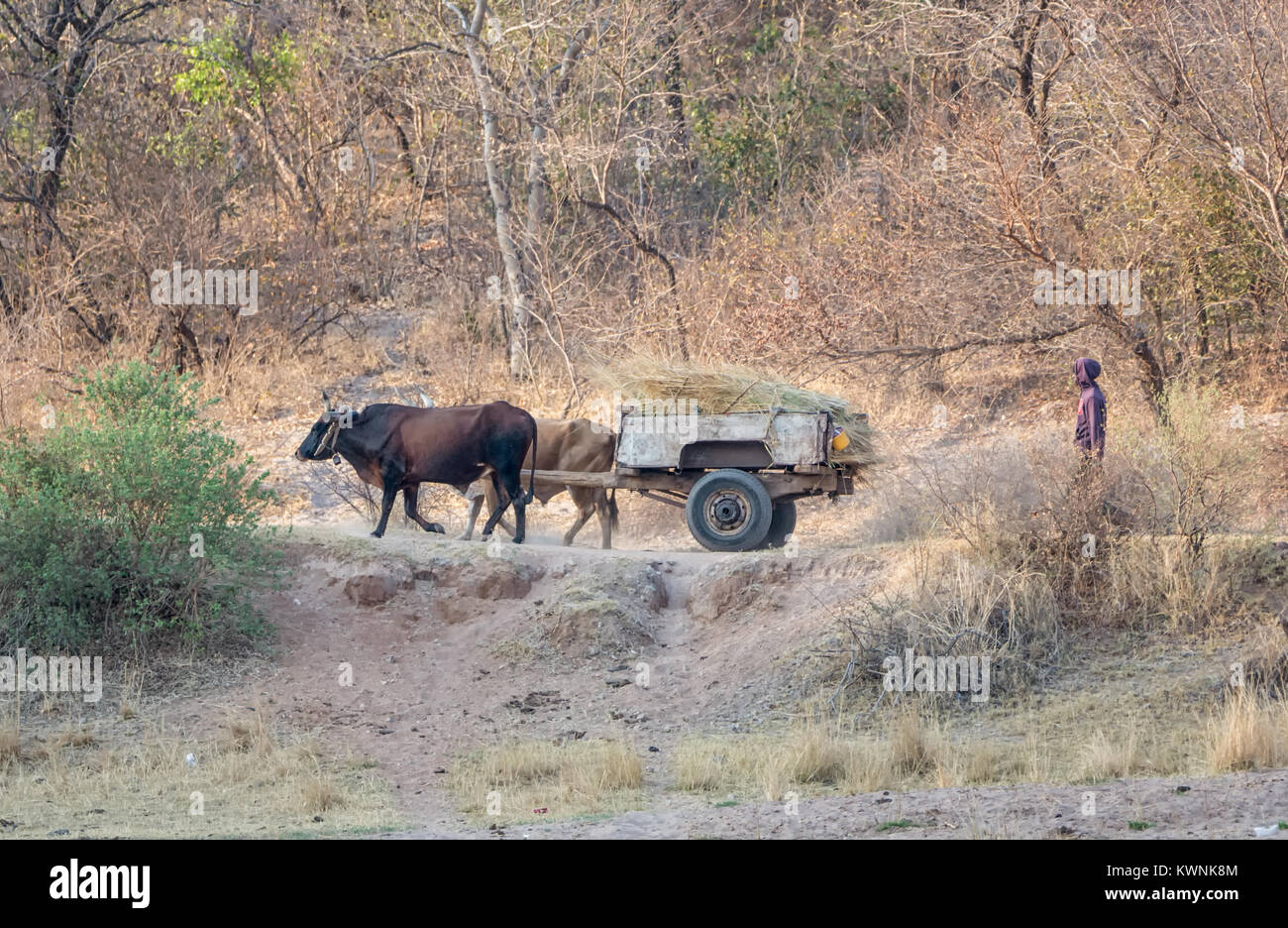A working cow wagon in Angola - Stock Image