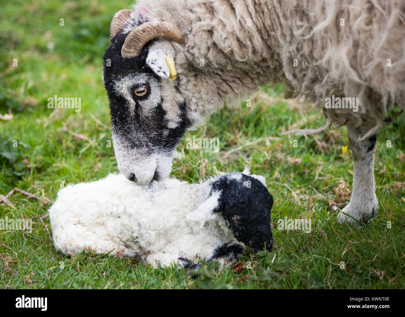 A Swaledale ewe and her newborn lamb bond shortly after birth. - Stock Image