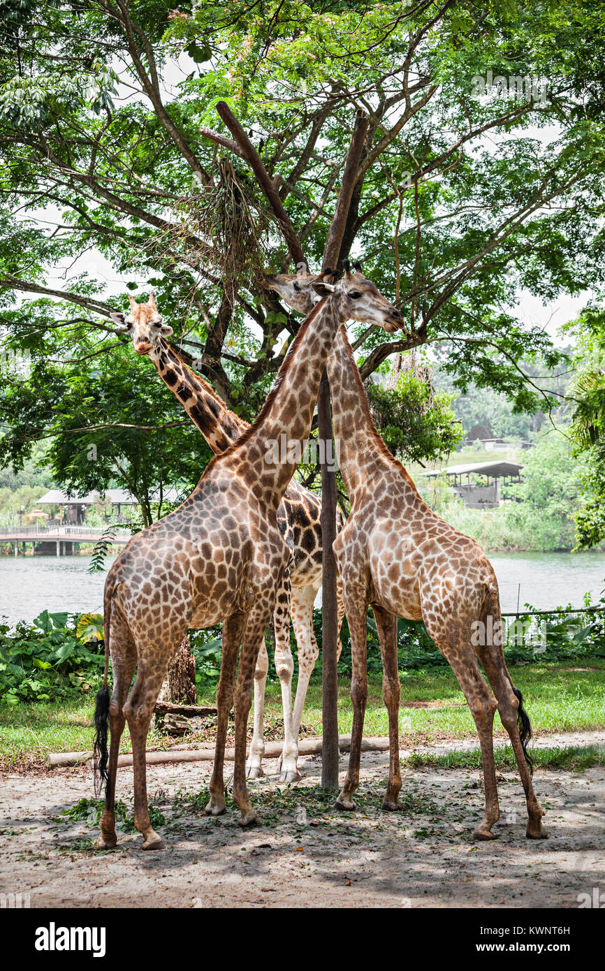 The giraffe (Giraffa camelopardalis) is an African even toed ungulate mammal, the tallest of all extant land living - Stock Image