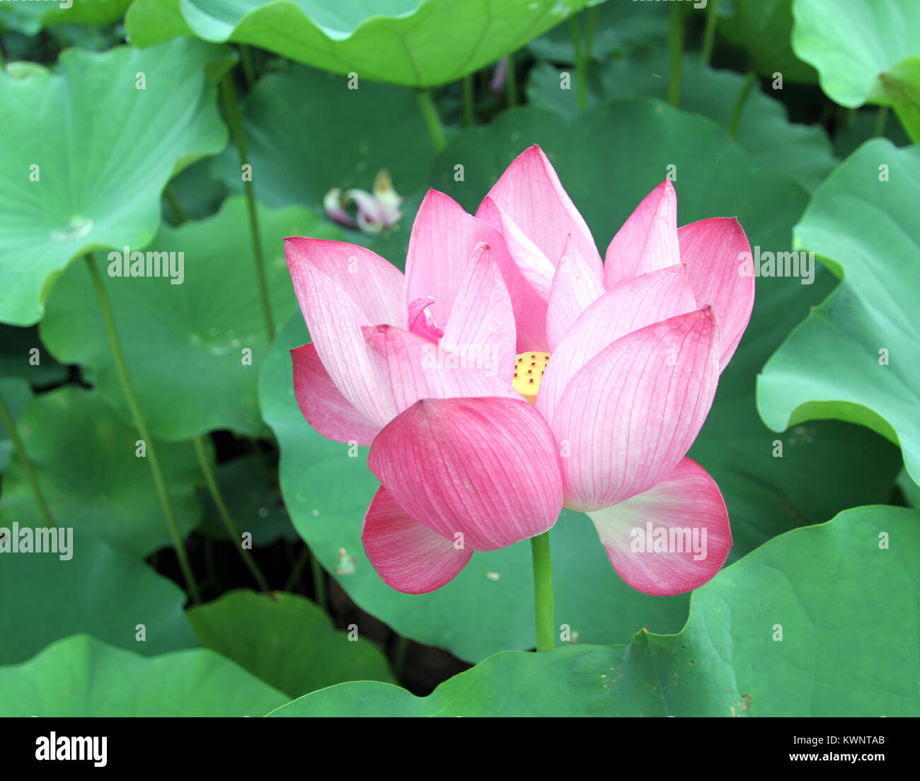 Big lotus leaf in pond stock photos big lotus leaf in pond stock pink lotus and big green leaves in pond stock image mightylinksfo