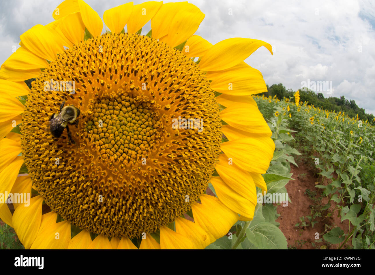 Sunflowers are grown to attract birds and pollinators to a wildlife preserve in Maryland, United States of America. - Stock Image
