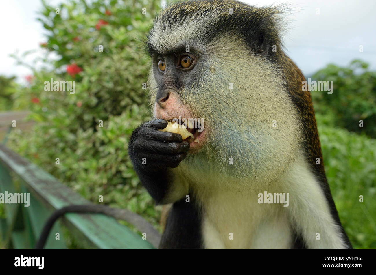 Mona monkey, Grand Etang National Park, Grenada, Caribbean - Stock Image