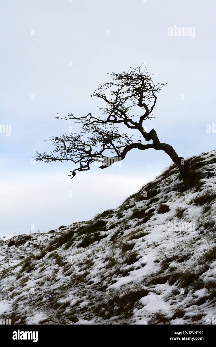 Lone weathered hawthorn tree silhouetted in winter snow Black Mountain Mynydd Du Brecon Beacons National Park Carmarthenshire - Stock Image
