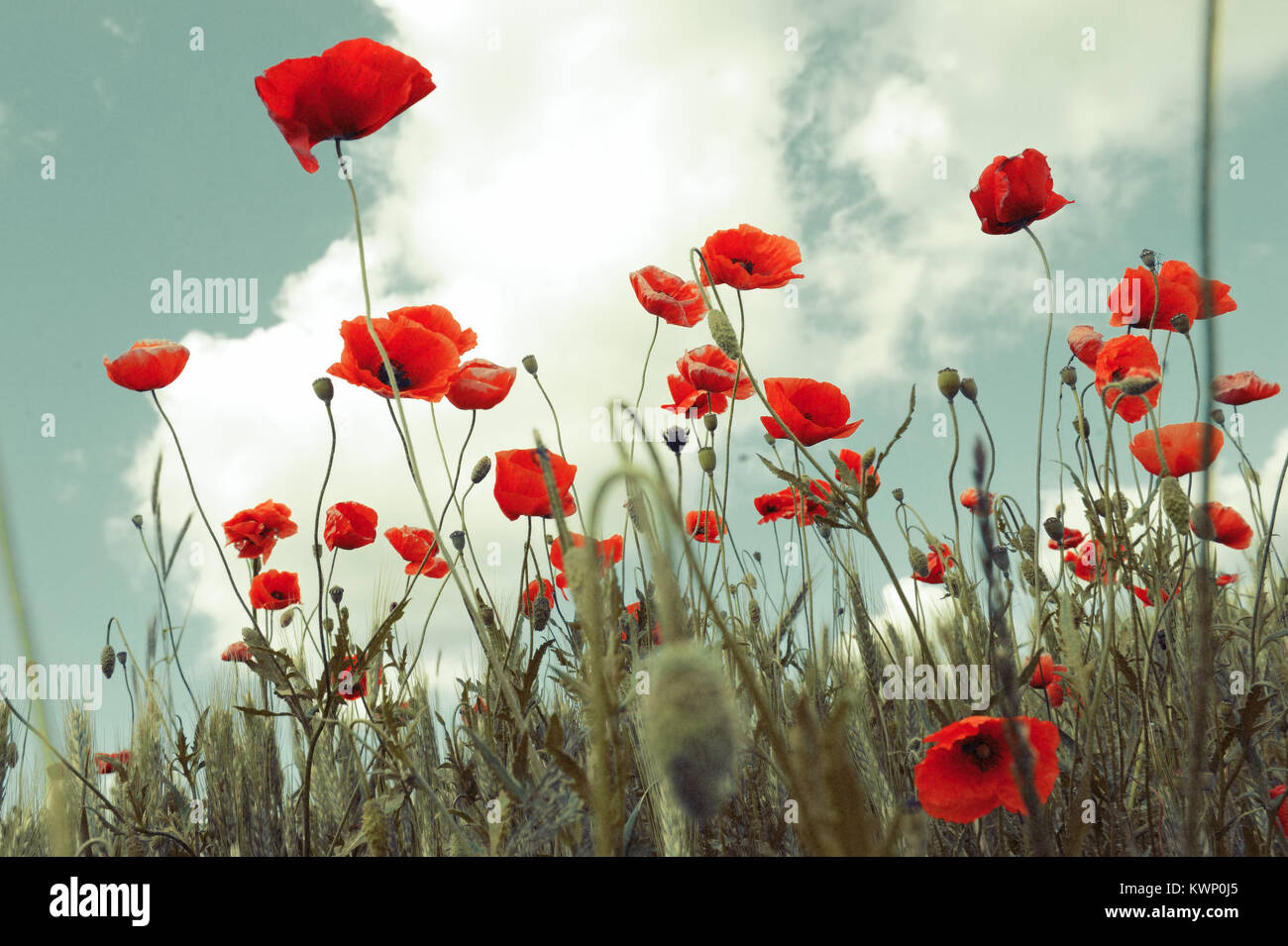 Red poppies on the field in the sky with soft wintage filter Stock Photo