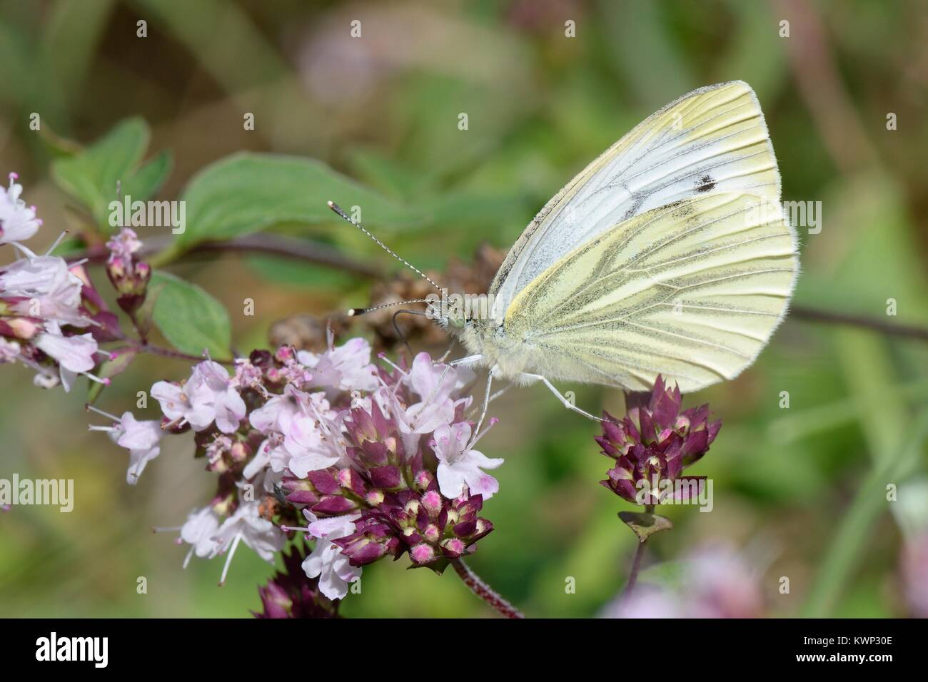 Green-veined white (Pieris napi) nectaring on Wild marjoram flowers (Origanum vulgare) in a chalk grassland meadow, - Stock Image