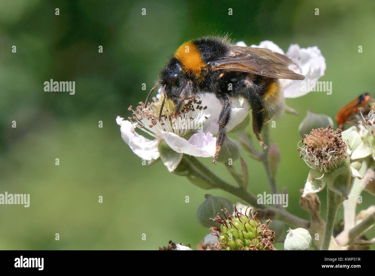 Vestal cuckoo bumblebee (Bumbus vestalis = Psithyrus vestalis) a brood parasite and mimic of Buff-tailed bumblebees, - Stock Image