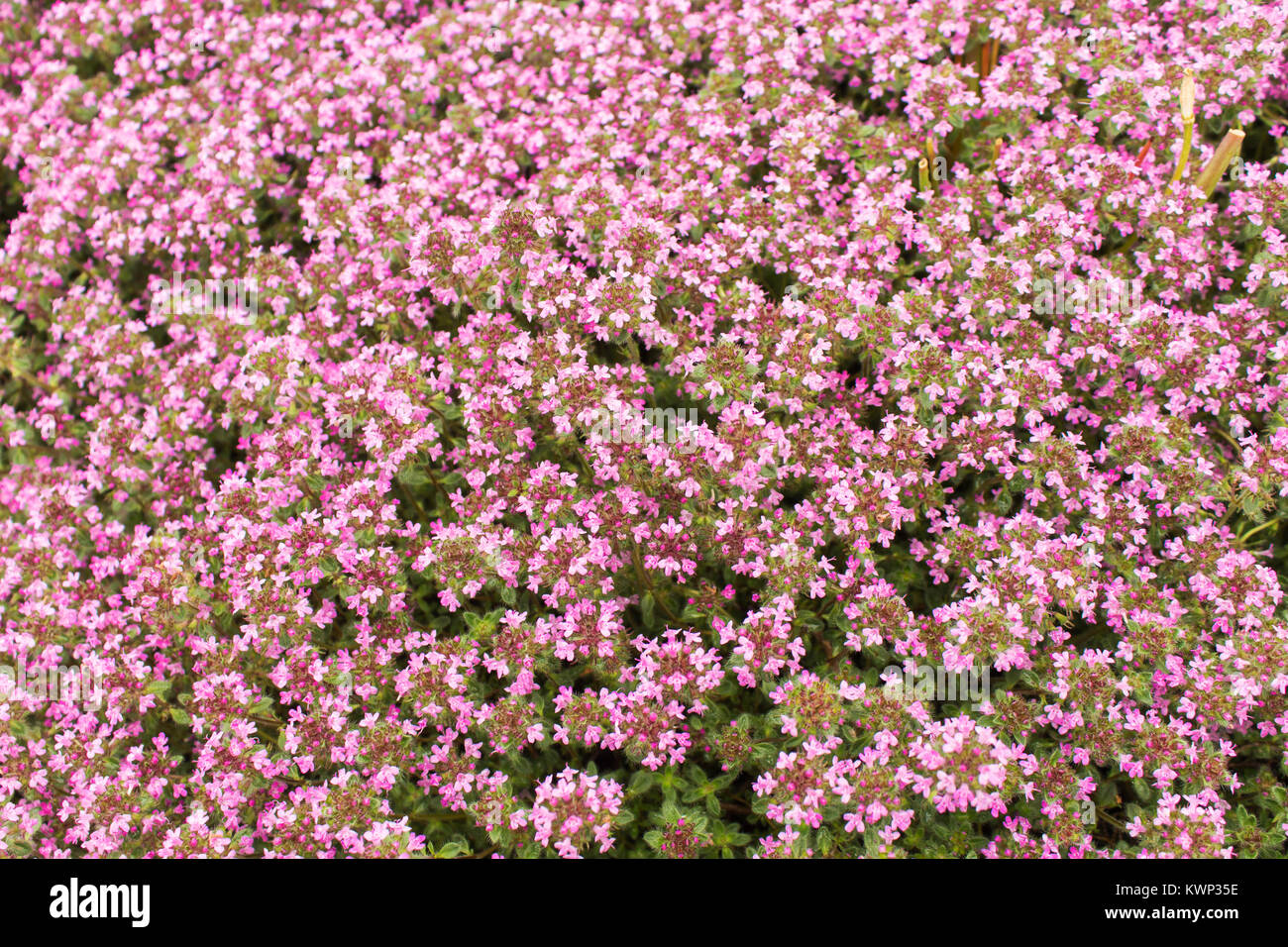 Background of a ground cover plant with small pink flowers thyme background of a ground cover plant with small pink flowers thyme creeping mightylinksfo
