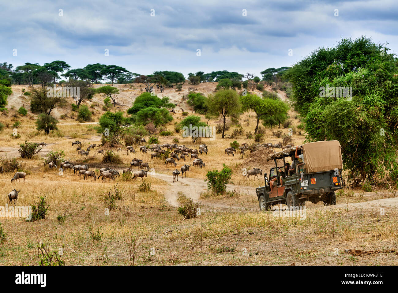 Blue wildebeest and safari car in valley of  Tarangire National Park, Tanzania, Africa - Stock Image