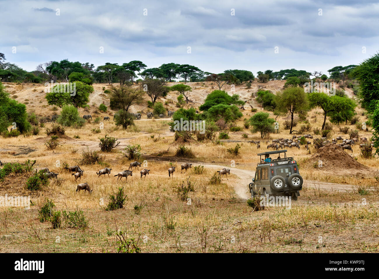 Blue wildebeest and safari car on valley of  Tarangire National Park, Tanzania, Africa - Stock Image