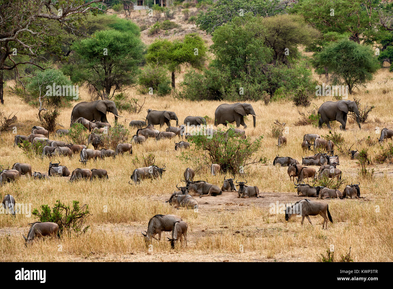 Blue wildebeest and African Elephants on valley of  Tarangire National Park, Tanzania, Africa Stock Photo