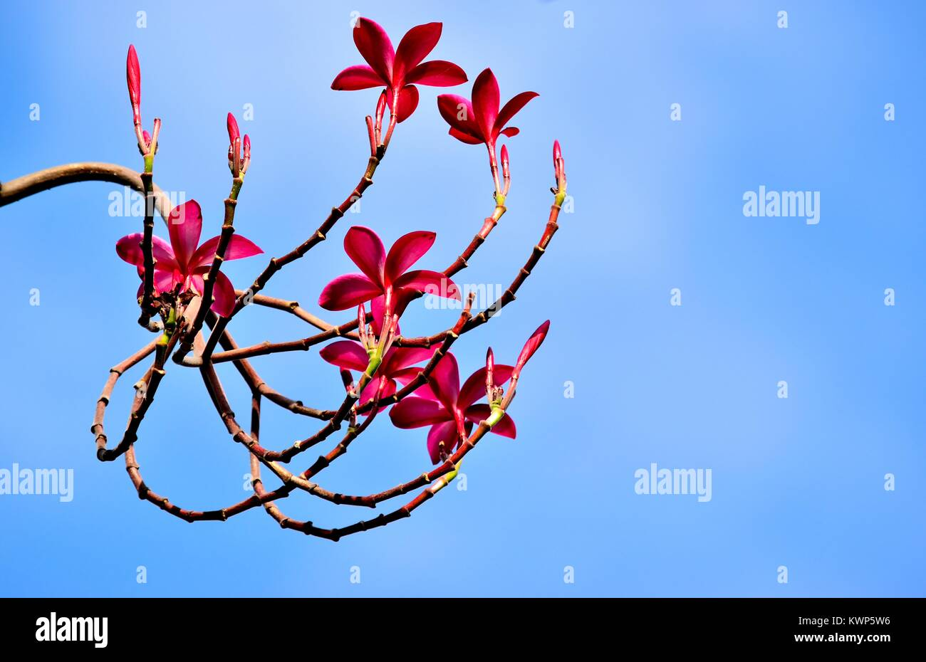 A spray of beautiful red tropical frangipani or plumeria blossoms against a clear blue sky - Stock Image