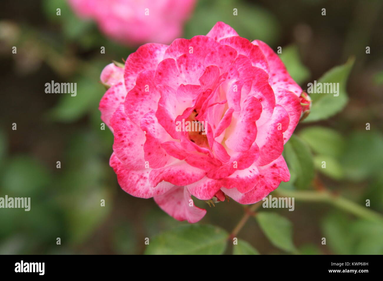 Pink Rose with two tones - Stock Image