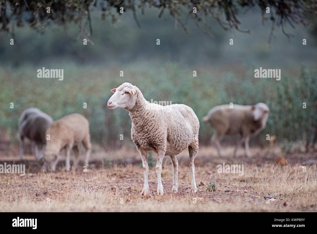 Merino Sheep grazing on acorns among the Dehessa in the San Pedro Sierra in Extremadura Spain December - Stock Image